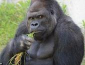 الغوريلا الشرقية من أكثر الأنواع المهددة بالانقراض