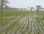 """""""البحوث الزراعية"""" يطالب بتحديد سعر توريد الأرز بـ2250 جنيها"""