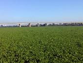 بالصور..ورد النيل يملأ فرع رشيد بكفر الشيخ ويتسبب فى نقص مياه الشرب والرى