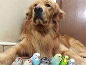 بالصور.. كلب جولدن ريتريفر يلهو مع أصدقائه من الطيور والفئران