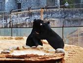 صينى يشترى كلبين ويكتشف بعد عامين أنهما دبين مهددين بالانقراض