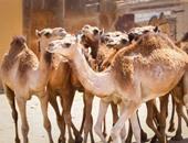 الزراعة: فحص الجمال الواردة من السودان ضمن إجراءات مواجهة فيروس كورونا