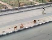 """حملة لـ""""بيطرى الوادى الجديد"""" للقضاء على الثعالب والكلاب الضالة بالداخلة"""