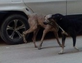 قارئ يشكو انتشار الكلاب الضالة فى شوارع حلمية الزيتون