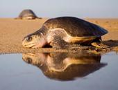 مئات السلاحف تضع البيض على شواطئ المكسيك