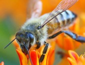 7 أنواع نحل مهددة بالانقراض فى أمريكا