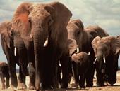 نفوق أكثر من 100 فيل فى بوتسوانا واشتباه فى الجمرة الخبيثة