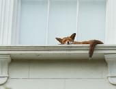 """ماذا لو فتحت نافذة حجرة نومك ووجدت """"ثعلب""""؟!"""