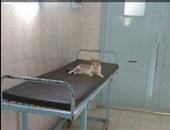 صحافة المواطن: القطط تحتل أسرة المرضى بمستشفى بسيون فى الغربية