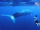 بالصور والفيديو.. شاب يحقق حلم حياته بالسباحة بجوار الحيتان الزرقاء