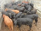 """""""بيطرى أسيوط"""" يعلن الطوارئ لتحصين الأبقار والأغنام ضد مرض """"الجلد العقدى"""""""