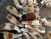 بالصور.. مسلمو باكستان يستعدون لعيد الأضحى بالأغنام والأبقار والإبل