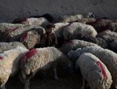 بالصور.. أسواق الماشية فى العراق وأفغانستان تستعد لعيد الأضحى