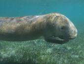 بالصور.. إنقاذ صغير حيوان عروسة البحر بعد أن جرفته الأمواج للخارج بمرسى علم