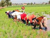 فلاحو الشرقية يواصلون الصراع القضائى للحصول على حقهم فى زراعة الأرز