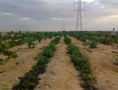 مستوطنون إسرائيليون يقطعون 15 شجرة زيتون معمرة جنوب بيت لحم