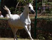 مطار القاهرة يستقبل 8 خيول عربي أصيل تمهيدا لنقلهم إلي بلجيكا وألمانيا