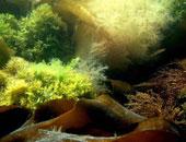 انتشار الطحالب فى تشيلى يقتل 170 ألفا من أسماك السلمون