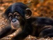 مدينة لوبورى تقيم المهرجان السنوى لتكريم القرود فى تايلاند