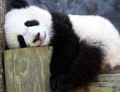 أكبر باندا فى العالم يحتفل بعيد ميلاده الثلاثين بالصين
