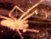 ذكور العناكب تستمتع بالجنس أثناء عملية التزاوج