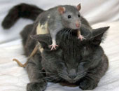 باحثون من 8 بلدان يكشفون سر العداوة التاريخية بين الفئران والقطط.. اعرف القصة