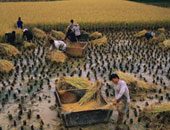 """""""البيئة"""": نسبة حصاد الأرز بلغت 95%..وجمعنا 137 ألف طن قش حتى الآن"""