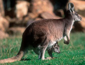 دراسة: تراجع الثدييات المهددة بالانقراض فى أستراليا بنسبة 38%