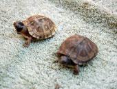 دراسة أمريكية: السلاحف الصغيرة قد تنقل السالمونيلا المسببة للحمى والإسهال