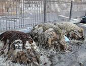 ضبط 13 طن مخلفات جلود حيوانات وغراء وتحريز 125 شيشة فى حملات بالقليوبية