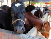 """اكتشاف 5 أبقار مصابة بمرض الإجهاض المعدى """"البروسيلا"""" فى الدقهلية"""