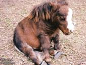 معمل أرجنتينى يبيع أجنة مجمدة لخيول أصيلة تستخدم فى رياضة البولو