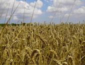 """التموين"""" تتعاقد على شراء 300 ألف طن قمح لإنتاج الخبز المدعم"""