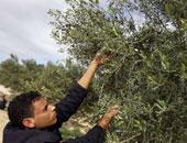 """""""الزراعة"""" تحدد 8 توصيات لزيادة انتاج أشجار الزيتون .. تعرف عليها"""