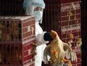 الفاو والخدمات البيطرية تحدثان خطة الاستعداد لإنفلونزا الطيور لعام 2021