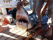 الخبراء يكشفون أسرار مهاجمة أسماك القرش السائحين