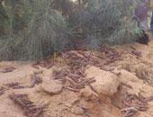 """""""الفاو"""" تحذر مصر من هجمات الجراد الصحراوى بسبب غزارة الأمطار"""