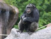 مرة أخرى.. محكمة أمريكية ترفض منح الشمبانزى حقوقا قانونية