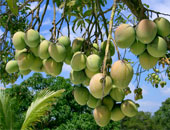 الزراعة: الانتهاء من معالجة 126 ألف فدان من العفن الهبابى بالمانجو