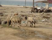 """""""الرياض"""": السعودية تكشف عن استيراد أغنام مستوردة مصابة بأمراض معدية"""