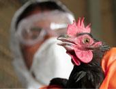 إعدام 550 دجاجة بالقليوبية بعد ظهور بؤرة لإنفلونزا الطيور