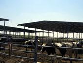ضبط 11 رأس ماشية يشتبه فى إصابتها بأمراض داخل مزرعة بالبحيرة