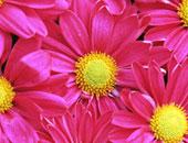 صناعة الزهور فى إثيوبيا تشهد طفرة كبيرة