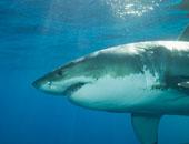 """نصف مليون سمكة قرش قد يتم ذبحها من أجل""""السكوالين"""" فى محاولة لصنع لقاح COVID-19"""
