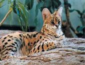 جمعية خيرية تحث الاتحاد الأوروبى على مكافحة تجارة النمور