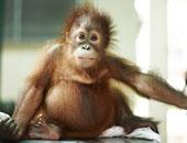 ولادة قرد من فصيلة المنجابى المعرض للانقراض فى حديقة برشلونة