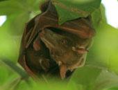 وفاة 10 أشخاص بسبب تفشى فيروس نادر بالمخ تنشره خفافيش الفاكهة فى الهند