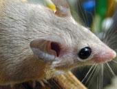 فيديو.. مولد نوع نادر من الفئران العارية محصنة ضد السرطان فى إسبانيا