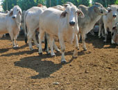 بالفيديو.. رئيس شعبة الجزارين: الثروة الحيوانية تنقرض بسبب إهمال الفلاح