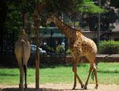 """مؤسسات حماية الحيوان تفكر فى إدراج """"الزرافة"""" بقائمة حيوانات مهددة بالانقراض"""